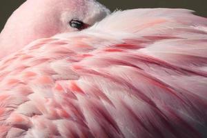 penas de flamingo foto