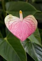 flor flamingo foto