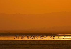 flamingos maiores