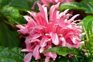 pluma brasileira nome latino carnea jacobinia