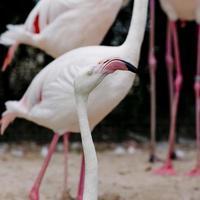 close de uma cara de flamingo