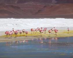 flamingos de atacama na terra amarela foto