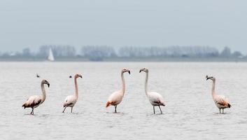 grupo de flamingos em th selvagem foto