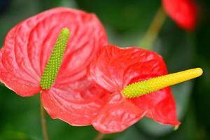 antúrio andraeanum ou lírio flamingo foto