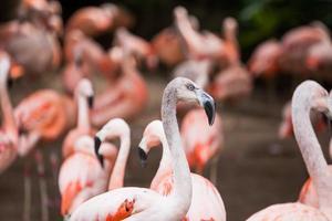 grupo de flamingos cor de rosa em seu ambiente natural foto