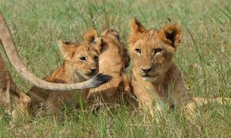 filhotes de leão foto