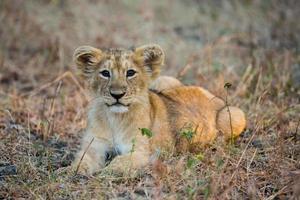 filhote de leão asiático foto
