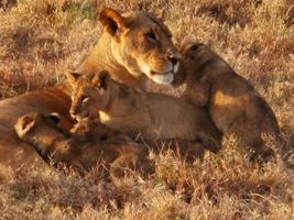 Leoa com filhotes