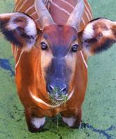bongo africano (antílope) foto