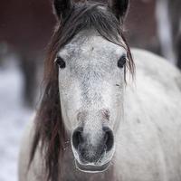 tiro na cabeça do cavalo branco foto