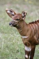 bongo, tragelaphus eurycerus foto