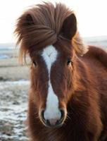 cavalo islandês foto