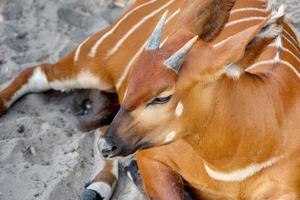 bongo oriental com pequenos chifres deitado na areia foto