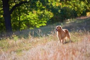 cão retriever dourado em um gramado de verão na floresta