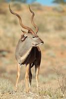 antílope kudu
