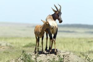 antílopes topi em uma colina de cupins, masai mara, quênia