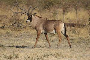 touro de antílope roan alerta no parque nacional de mudumu foto