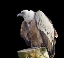 abutre-grifo (gyps fulvus) isolado no preto foto