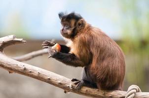 macaco capuchinho sentado em um galho de árvore foto