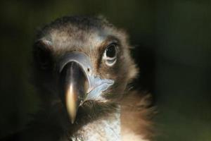 abutre cinereous (aegypius monachus) foto