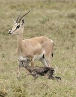 nascimento da gazela de uma bolsa foto