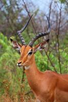 macho impala marrom no parque nacional de kruger. outono. África do Sul. foto
