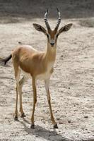gazela em pé ao sol foto