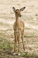 retrato de um bebê impala na savana