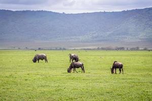 gnus na área de conservação de ngorongoro