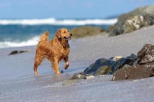 jovem retriever dourado na praia foto