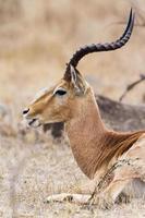 impala no parque nacional kruger foto