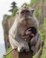 macaco lactação foto
