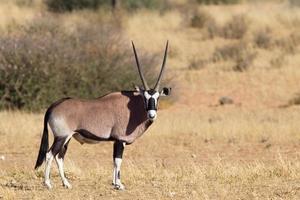 pé de gemsbok no deserto