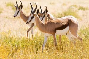 três jovens gazela no deserto de kalahari