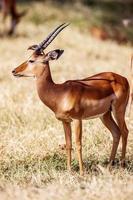 pássaros sentado no antílope da impala andando na grama paisagem, áfrica