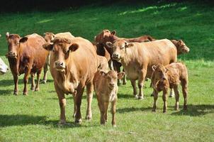 vacas em prados