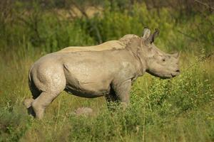 banho de lama do rinoceronte do bebê foto
