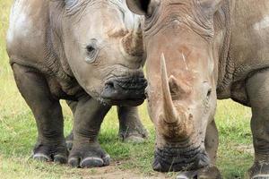casal de rinoceronte branco foto