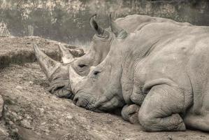 rinocerontes em repouso
