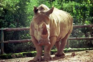 rinoceronte selvagem foto