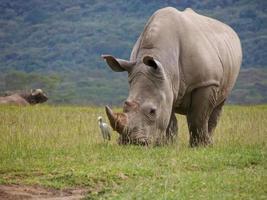 rinoceronte branco selvagem pastando grama com garça-boi foto