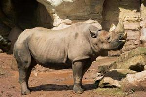 rinoceronte no zoológico foto