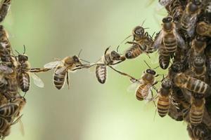 enxame de ponte de abelhas foto