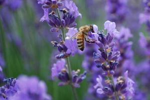 abelha na flor de lavanda foto