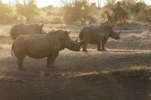 rinoceronte ao pôr do sol foto