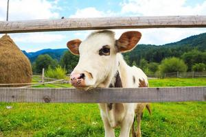 cara de vaca touro foto