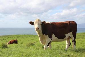 vaca de carne hereford foto