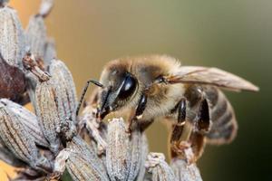 abelha na lavanda foto