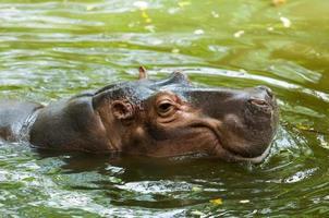 hipopótamo. foto