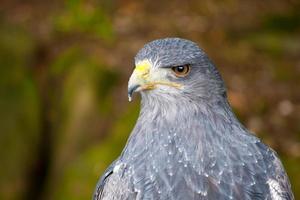 águia-de-peito-preto (geranoaetus melanoleucus).